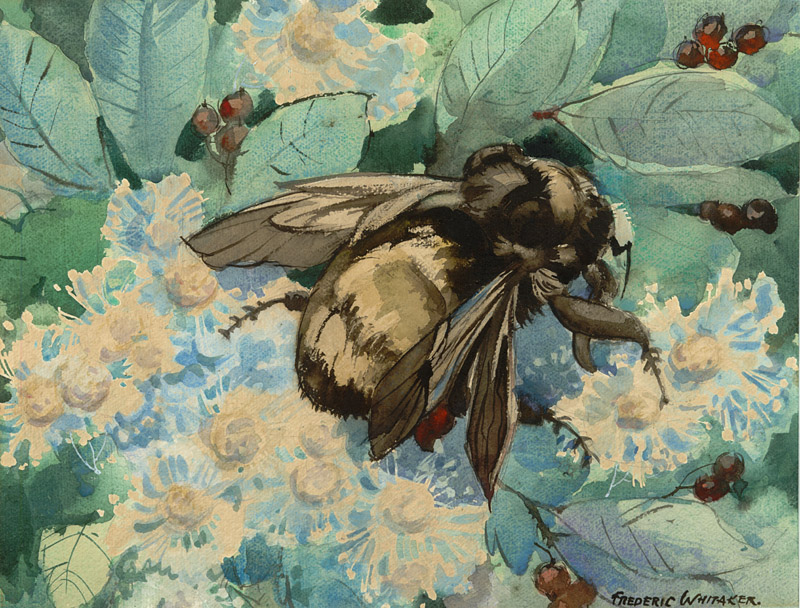 """Mr. Bumble"" 1965 © Frederic Whitaker (size unknown) Watercolor"