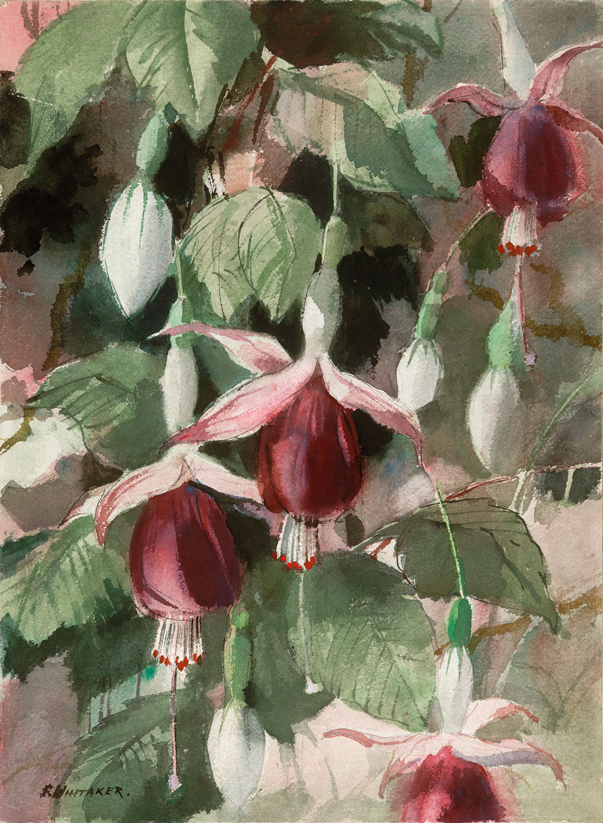 """Fuchsias #1"" 1965 © Frederic Whitaker 22x16 inches Watercolor"