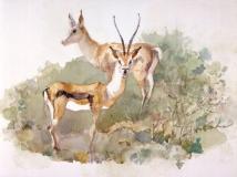 """Springbok Wild Animal Park"" 1986 © Eileen Monaghan Whitaker N.A. 16x22 Watercolor"
